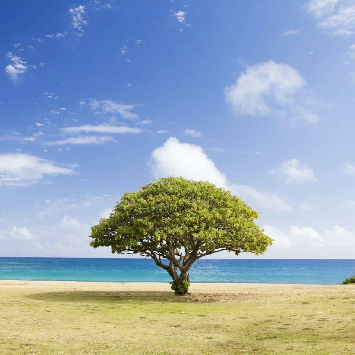 Tree in front of Poipu Beach.