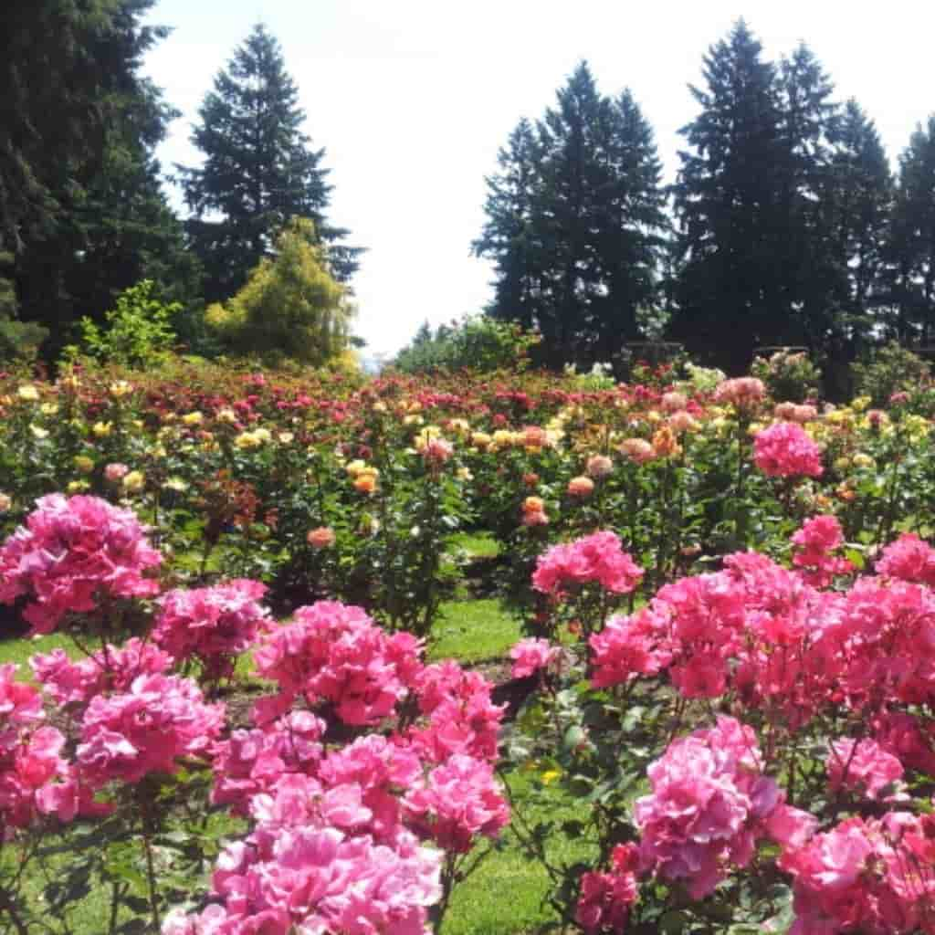 Field of roses with trees in the background.