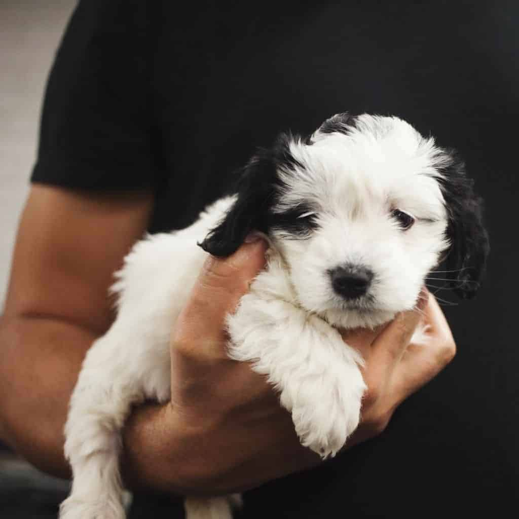 Person holding a black and white puppy.